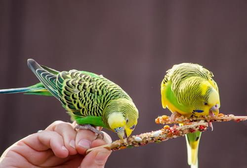 Gallery Image Parakeets_eating_on_a_stick_2021.jpg