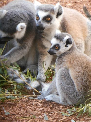 Gallery Image Ring_tailed_Lemurs_2021.JPG
