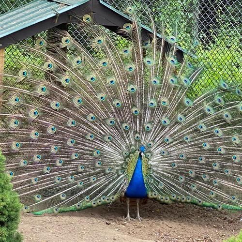Gallery Image peacock_2021.jpg