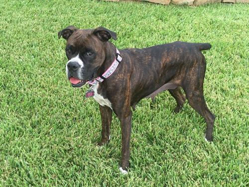 Gretta Grace is The Goertz' rescued boxer and she comes to work with them each day.  All of the employees and visitors love Gretta Grace.  She attends the weekly Tuesday morning team meetings and is a strong voice for the animal rescue community.