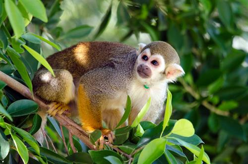 Walk into an open exhibit where squirrel monkeys scamper through bushes and trees just inches away. As the only walk-through squirrel monkey exhibit in the United States, Monkey Village is a must-see on your visit to the Zoo!