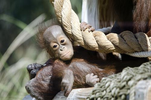 Jiwa, the Phoenix Zoo's newest member of the Bornean orangatun family!