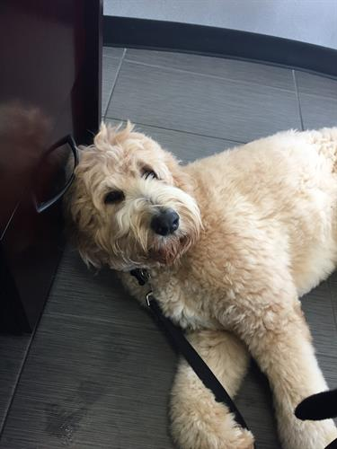 "One of our Regular Weekly walk Clients, ""Pendleton"" the Goldendoodle, ready to take a nap after his 1hr walk"