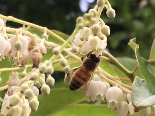 One of our honeybees pollinating a Sourwood Tree Blossom.