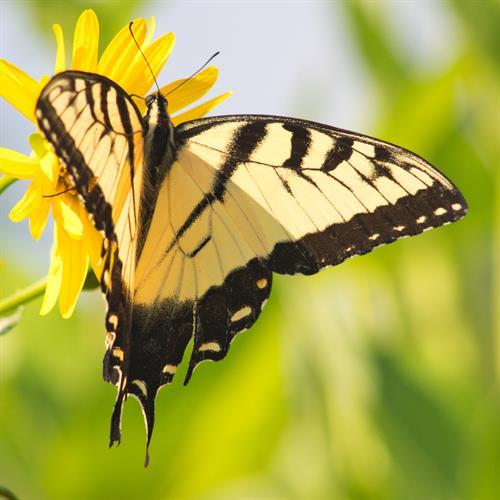 Swallowtail at Dane Mutter Prairie