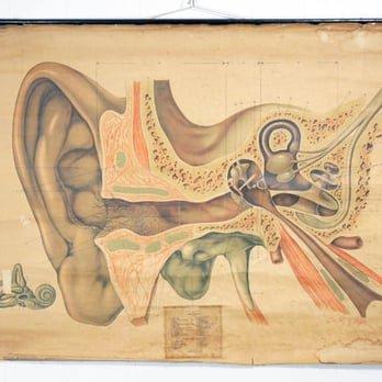Ear Biology Chart
