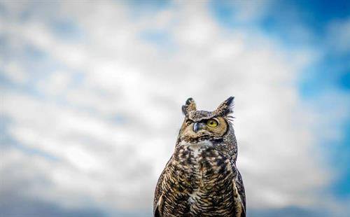 Luna, Great Horned Owl educational ambassador