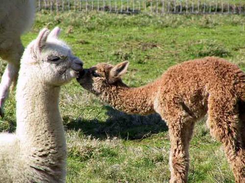 Baby alpacas known as cria.