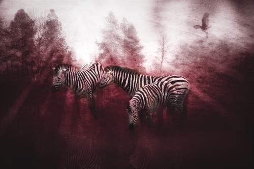 Gallery Image Zebra.jpg