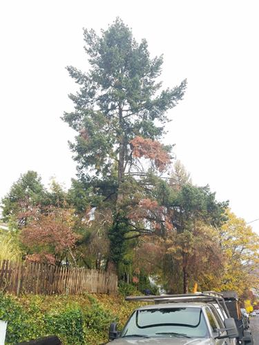 Drought stressed Douglas Fir tree before we removed the dead branches and reduce the end weight on some heavy limbs.