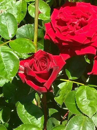 One of my favorite Roses