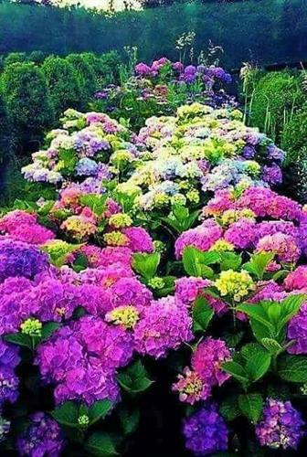 Beautiful colors of Hydrangeas.