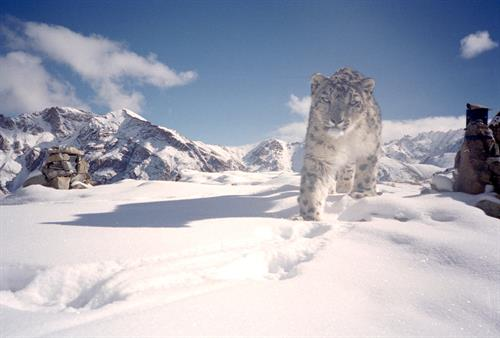 Partnering with the Snow Leopard Conservancy and local villagers to conserve snow leopards in Ladakh, India
