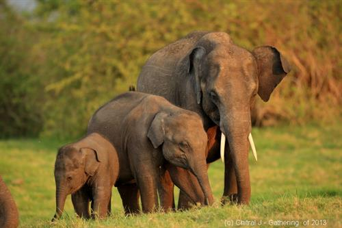 Wild elephants gather at a watering hole during dry season: we'll be there! (photo by C. Jayatilake