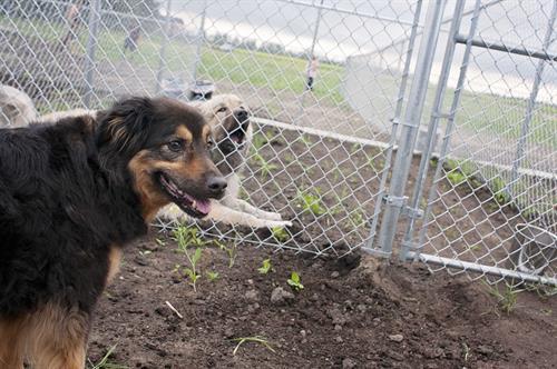 Large breed dog boarding.
