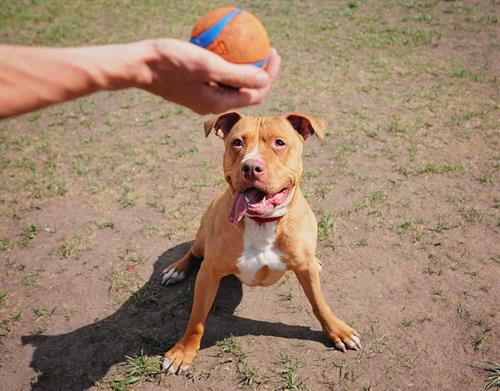 Private dog training obedience using a toy ball for motivation.