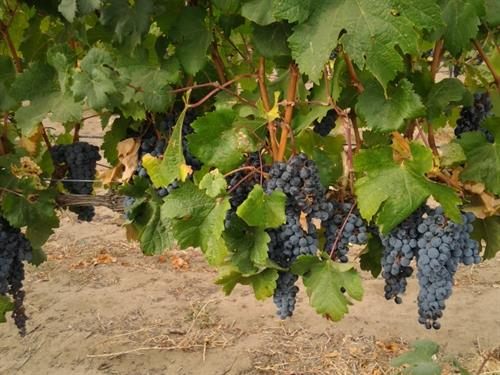 It all starts at the vineyard
