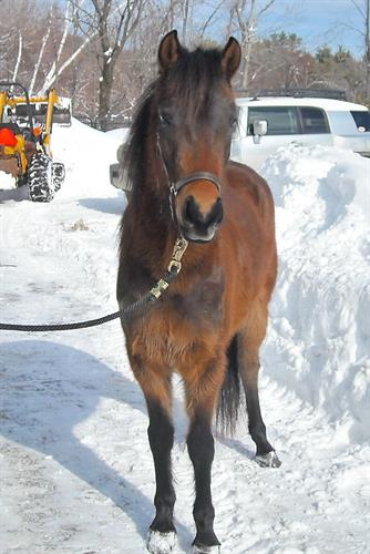 Tansy, the pony who started our founders love of Newfoundland Ponies