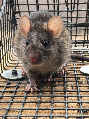 Rat Trapping - https://southernpest.net/wildlife/rat-trapping/