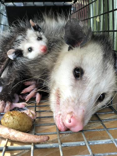 Possum Trapping - https://southernpest.net/wildlife/possum-trapping/