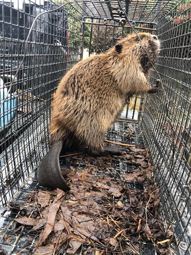 Beaver Trapping - https://southernpest.net/wildlife/beaver-trapping/