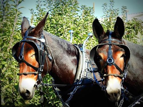 Enjoy a ride through the orchard with mule drawn wagons.