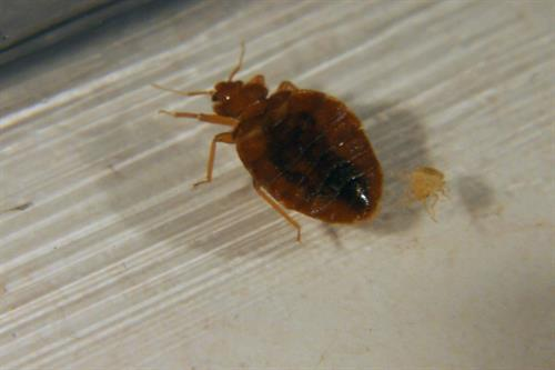 Bed bugs. Infestation complaints in commercial properties affect profits.
