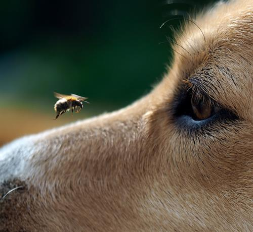 Bees. Protecting your family and pets from aggressive bees.