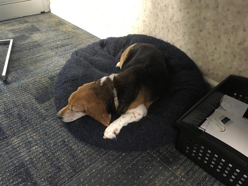 Grace, our office beagle