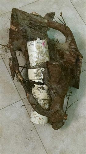 Roots grown into sewer line