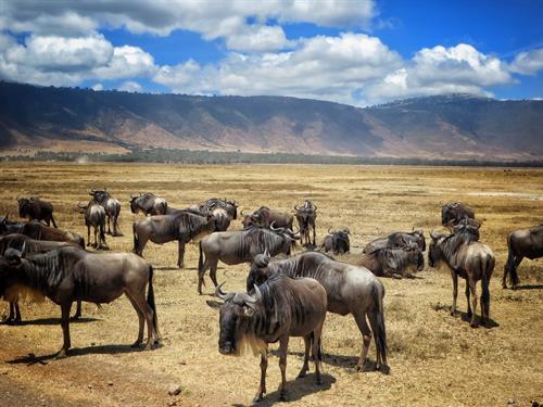 Wildebeests in the Ngorongoro Crater, Tanzania