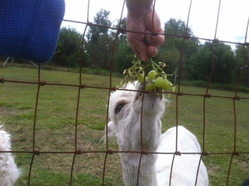 Chip enjoying his favorite - grapes eaten right off the vine.