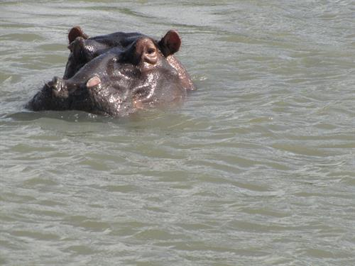 Hippo eyeballing the canoe  Lake Eteza Kwazulu Natal South Africa