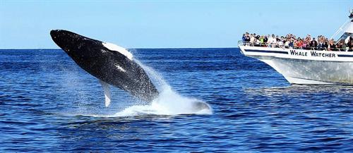 Gallery Image hyannis_whale.jpg