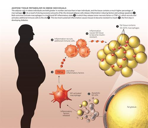 Fat Cells and inflammation