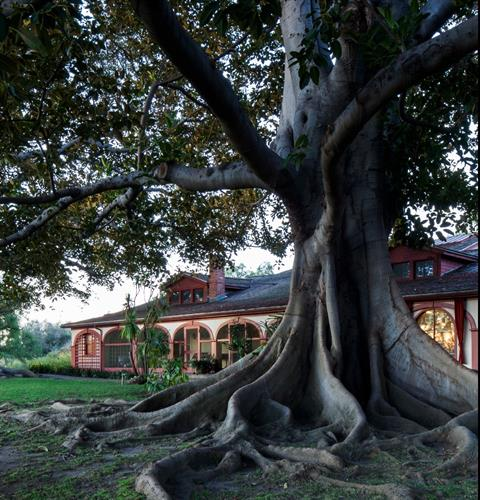 Moreton Bay Fig Tree and Ranch House