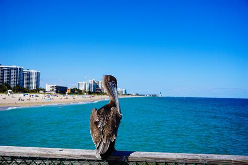 Pompano Pelican