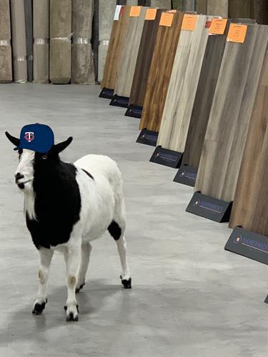 Hamernick's official spokes goat, Gilbert!