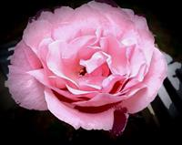 Rose Essences to Help with balancing heart issues