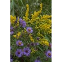 Nature up close - Asters & Goldenrods