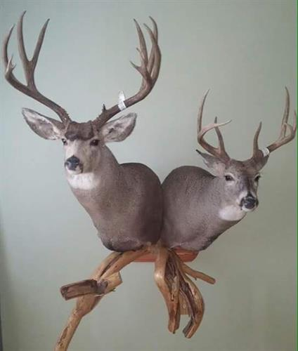 Lane's Taxidermy 2 bucks