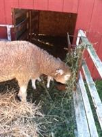 Ewe in our farm yard