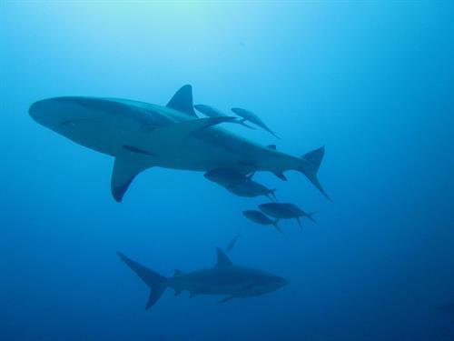 Reef sharks in Roatan, Honduras