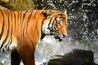 Highly endangered Malayan tiger