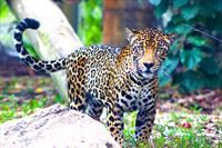 Fiona the rescued jaguar