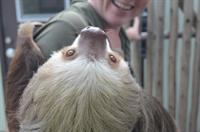 Feed grapes to Wilbur, the sloth, with our sloth Animal Experience
