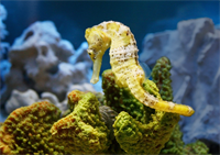 Gallery Image seahorse.png