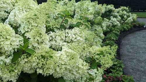 Hydrangeas in bloom in the Italianate Garden, Massachusetts Horticultural Society's The Gardens at Elm Bank