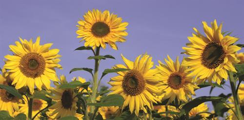 Gallery Image SunflowersCYMK.jpg