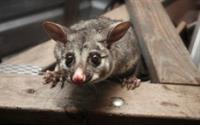 Pestpac have a National Parks and Wildlife Licence to catch and release possums.